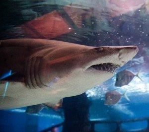 Feet first shark