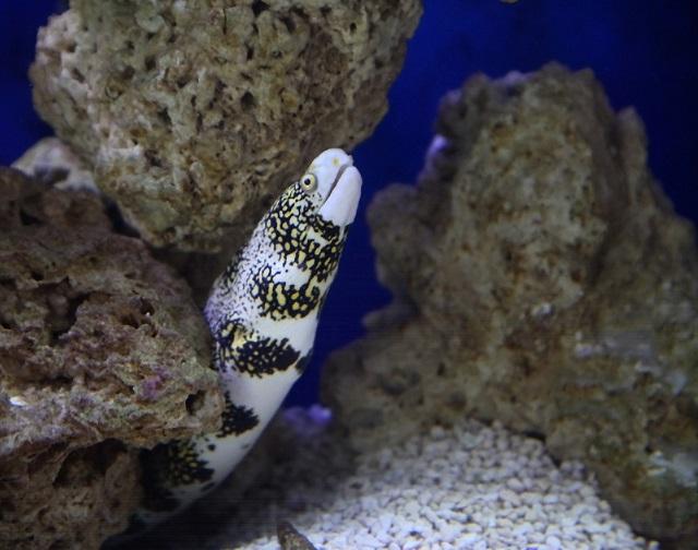 Snowflake Eel Teeth Snowflake eels prefer not