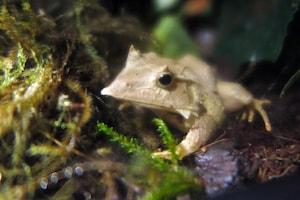 Solomon Island Tree Frog
